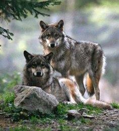 looks like an Alpha pair to me.