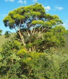 Brasil - Pau amarelo Vochysia haenkeana