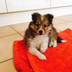 Tiny Sheltie puppy