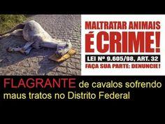 FLAGRANTE de cavalos sofrendo maus tratos no Distrito Federal
