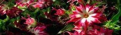 Unique Red White Cactus Flowers Header