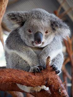 West Highland Terrier Puppy, Australian Bush, Animal Kingdom, Puppies, Bear, Babies, Cute, Animals, Koalas