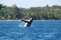 Baleine, Sainte Marie, Madagascar