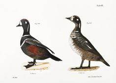 Harlequin Duck (Fuligula histrionica) Ditto, immature illustration from Zoology of New york - by James Ellsworth De Kay Vintage Birds, Vintage Images, Vintage Bird Illustration, New York Public Library, Zoology, Free Illustrations, Public Domain, Yorkie, Free Images