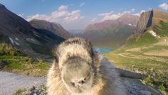 Greenpeace was trying to film mountain scenery at Glacier National Park, but a curious marmot had other ideas.