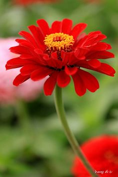 red zinnia flower Red zinnia flower these are great flowers. Cut and put in a vase. Last a long time The post red zinnia flower appeared first on Ideas Flowers. All Flowers, Amazing Flowers, Colorful Flowers, Beautiful Flowers, Wedding Flowers, Blossom Garden, Blossom Flower, Tree Garden, Calla