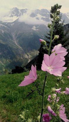 Precious malva, growing in grandparents garden, grandma's fave, today cared by grandpa | Malve in den Schweizer Alpen #swissalps #switzerland