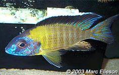 Aulonocara stuartgranti (Mbamba Bay)