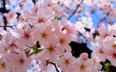 An Easy Guide To The Cherry Blossom Season In Japan.