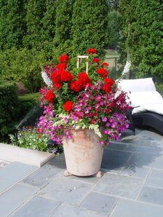 red geraniums....