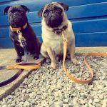 London Series Luxury Leather Dog Collar (Brigand Blue)