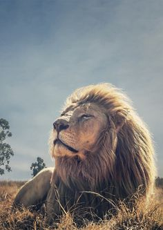 Lion The King of Jungle Lion And Lioness, Lion Of Judah, Beautiful Cats, Animals Beautiful, Animals And Pets, Cute Animals, Wild Animals, Beast, Lion Photography