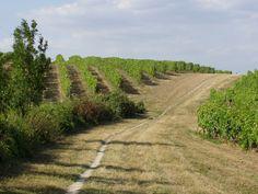 Walking on a nice pathway through a British Vineyards