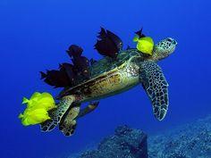 Estes peixes estão comendo algas e parasitas da casca e da pele de uma tartaruga. A foto foi tirada por Andre Seale, que capturou as imagens no Havaí. Este comportamento ajuda tanto a tartaruga a ficar mais limpa e saudável, como fornece refeição aos peixes. (Foto: Andre Seale)