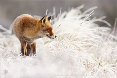 Red Fox in Winter Wonderland I think the combination of red fox fur and psistine snow white will always have my preference ; Foxes Photography, Nature Photography, Beautiful Creatures, Animals Beautiful, Fox In Snow, Animals And Pets, Cute Animals, Wild Animals, Fennec