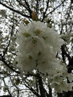 Cherry Blossoms, Dandelion, Flowers, Plants, Garden, Garten, Cherry Blossom, Dandelions, Japanese Cherry Blossoms