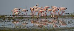 Flamingos, on Lake Manyara, Tanzania, by L.A. Times staffer Steve Stroud.