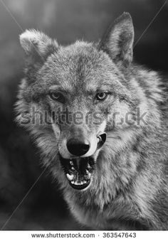 Find angry wolf stock images in HD and millions of other royalty-free stock photos, illustrations and vectors in the Shutterstock collection. Thousands of new, high-quality pictures added every day. Angry Wolf, Wolf Images, Husky, Royalty Free Stock Photos, Cats, Illustration, Pictures, Photography, Animals