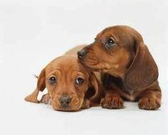 Caractéristique d'un chien saucisse:  Veut toujours dormir....