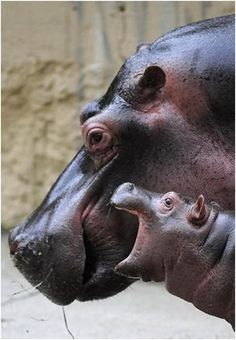 Baby hippo telling Momma a thing or two. lol A hippo can weigh over 2000lbs #babies #calves #hippopotami #hippopotamus #hippos #animals #wildlife