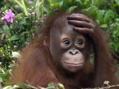 Orangutan in Borneo . please help this endangered species before it's too late Wildlife Wallpaper, Monkey Wallpaper, Animal Wallpaper, Hd Wallpaper, Computer Wallpaper, Animals And Pets, Baby Animals, Funny Animals, Cute Animals