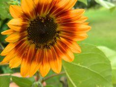 Sunflower on the Deck - at Rolari