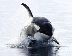 www.pegasebuzz.com   Orca, orque, blackfish, killer whale.