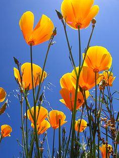 By Clayton Mansnerus-California Poppies-Bug's Eye View