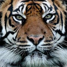 beautiful-wildlife: Tiger Portrait by Ralph Harvey
