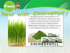 ❥ Barley is abundant in raw chlorophyll and potent antioxidants which aids in purification, anti-inflammation, and renewal of the body. Restore your health with Santé Barley! ☆ Need the CHLOROPHYLL that Santé Barley gives? Call and place your orders at 09295688899 and 09229597994 or be a member to avail of gadget incentives, tours here and abroad, BIG discounts on all products, and gain from a really profitable business opportunity!!! Barley Grass, Red Blood Cells, Body Cleanse, Business Opportunities, Restore, Gadget, Gain, Health And Wellness, Opportunity