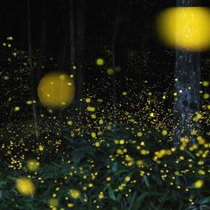 <p>Thousands of fireflies cover a forest.</p>