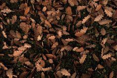 oak leaves in my garden