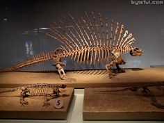 Edaphosaurus was a genus of sail-back synapsid, a group of animals that includes mammals and their relatives. It lived from the late Carboniferous to the early Permian. Even thoughEdaphosaurus resembled a dinosaur, they were not dinosaurs. They are actually ancestors of early mammals.