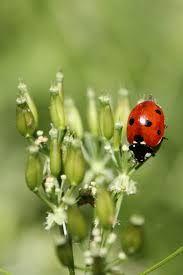Resultado de imagem para ladybug