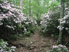Appalachian Trail (AT), Crabtree Falls -- I took a similar photo when I hiked in '98. Amazing to walk through all that mountain laurel.