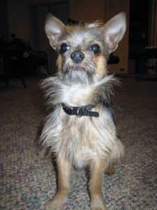 Choodle: Chihuahua Toy Poodle - Nice Beard! Awesome Beards, Poodle Mix, Chihuahua Mix, Otters, Sloth, Toys, Funny, Cute, Nice Beard