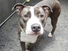 ~~BEAUTIFUL 2 YR OLD GAL TO BE DESTROYED 7/24/14~~ Manhattan Center -P My name is NIKKY. My Animal ID # is A1006472. I am a female blue and white pit bull mix. The shelter thinks I am about 2 YEARS   I came in the shelter as a STRAY on 07/12/2014 from NY 10456, owner surrender reason stated was STRAY.