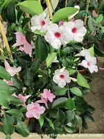 Pandorea jasminoides - Bignonia. Paredes y pérgolas