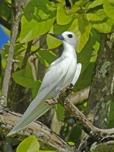 gygis alba - atolówka