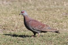 Pigeons and Doves of South Africa by Alex Lamoreaux | Nemesis Bird