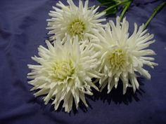 """All Triumph"" Bloom Type: Semi-Cactus, Color: white, Bloom Size: 3-4 in, Height: 3ft"