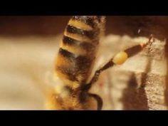 Pszczoły pod mikroskopem - Edukacja - Onet.tv - Platforma.flv - YouTube
