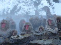Jigokudani Snow Monkey Park: Au bonheur des singes - consultez 913 avis de voyageurs, 816 photos, les meilleures offres et comparez les prix pour Yamanouchi-machi, Japon sur TripAdvisor.