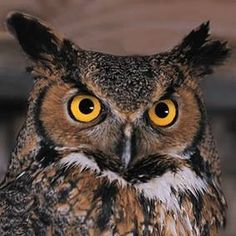 Great Horned Owl (photographer unknown)