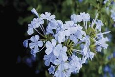 Growing Tips for a Blue Plumbago | Home Guides | SF Gate