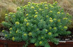 Rosenrot - sedum rosea  Native to Norway  Adaptogenic effect. Regulates stressreactions releases energyreserves.