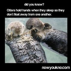 Did you know?  Otters hold hands when they sleep so they don't float away from one another.