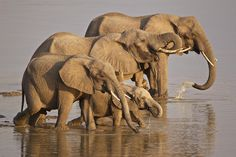 Elephant Family Photograph by Johan Elzenga - Elephant Family Fine Art Prints and Posters for Sale Elephant Family, Family Print, Elephant Design, Sale Poster, Baby Animals, Baby Elephants, Family Photographer, Family Photos, Posters