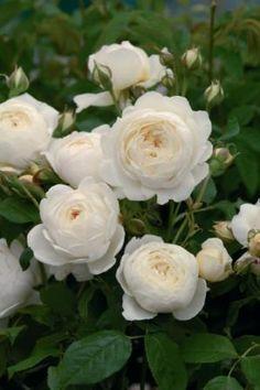 Treloar Roses - Claire Austin*
