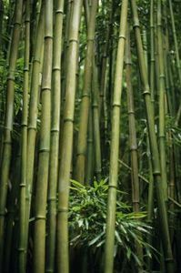 Growing a Bamboo Fence